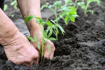 Comment fortifier les racines de vos plantes avec des lentilles ?