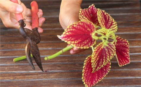 grow-coleus-propagate-root-coleus-cuttings-care-best-varieties-2 (2)