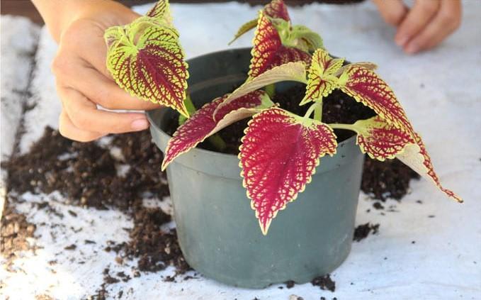 grow-coleus-propagate-root-coleus-cuttings-care-best-varieties-2 (4)