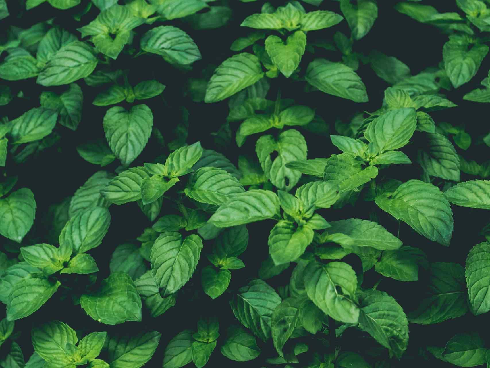 Planter Menthe En Pot comment faire pousser de la menthe dans votre jardin et dans