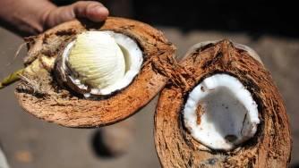 Les bienfaits étonnants de l'embryon de noix de coco connu sous le nom de «uto»