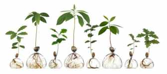 Cultivez des avocatiers avec ces vases en verre minimalistes.
