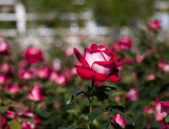 Osiria, cette rose pousse avec des pétales rouges et blancs