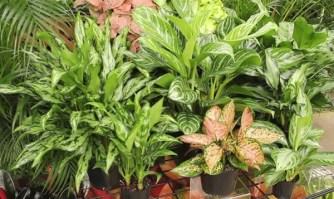 Aglaonema, une variété de plantes panachées