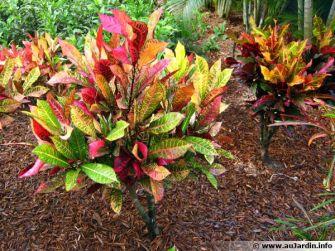 Les crotons, ces plantes aux couleurs resplendissantes