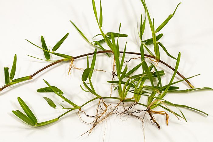 флоратам трава
