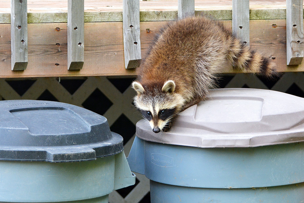 How to Get Rid of Raccoons In and Around Your Home