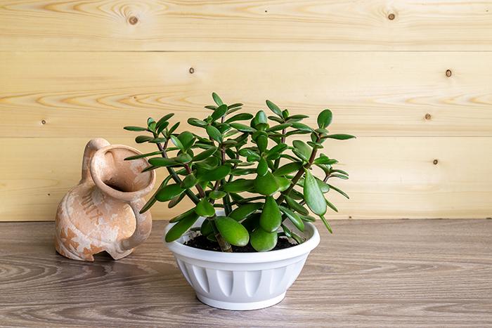 нефритовое растение