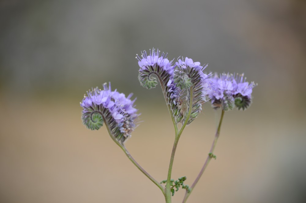 Antelope Valley purple flower