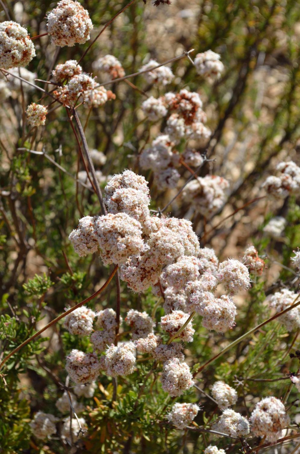 Buckwheat 06