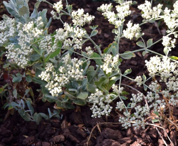 St Catherine's Lace 04