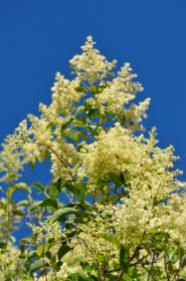 Ficus tree in bloom