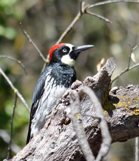 Acorn Woodpecker 02