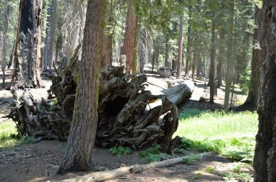 Sequoias have relatively shallow roots....