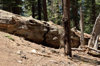 Logging of sequoias proved to be unprofitable ... because the giant trees shatter when they fall. The trees grow to massive size, but cannot be harvested effectively. The trees win!
