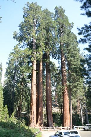 The sequoia grove known as the family. Sequoias grow close to each other to entertwine their roots ... so that none will fall over.