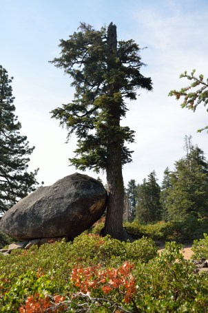 "The tree grew around the boulder. Sort of a ""Whoops, excuse me!"" philosophy."