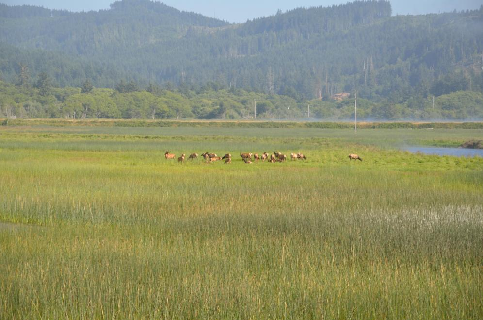 Finding the wild elk herd is a fun thing to do on your adventure through the redwood parks.