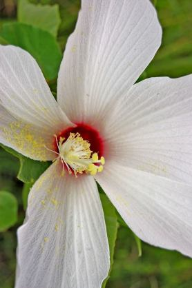 Hibiscus grandiflorus, also known as the Swamp Rosemallow, grows in freshwater wetlands, but it can also tolerate brackish water. Look for it as you wander through the park, it blooms until mid to late September! From the Everglades NP Facebook page.