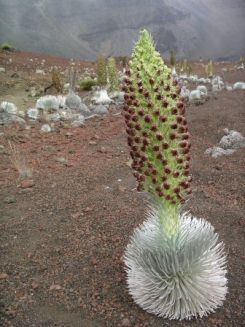 Silversword. Photo from the Haleakala National Park website..