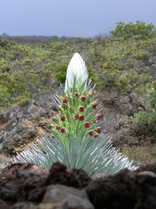 Silversword. Photo from the Haleakala National Park Facebook page.