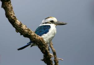 Collared kingfisher at the Pola Islands overlook in the Tutuila portion of the park. Photo from National Park of American Samoa website.