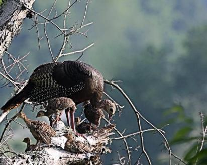 Wild turkey hen and chicks, from the National Park Service website.