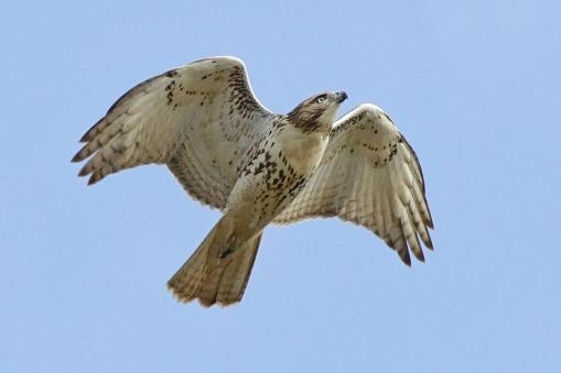 Red tailed hawk. From the Park's Facebook page.