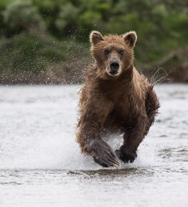 This Coastal Brown Bear is after salmon, but I'm happy not to be the focus of his charge! Taken in Morraine Creek. Tweeted by the US Department of the Interior, 1/3/14.