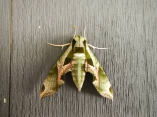 Pandora Sphinx Moth. From the Park's Facebook page.