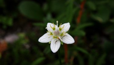 Grass of Parnassus with an Orb Weaver waiting on his lunch, hidden in the blossom. From the Park's Facebook page.
