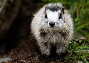 A hoary marmot. From the Park's website.