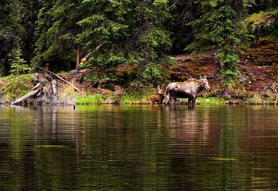 Photo by: NPS Photo / Nathan Kostegian Moose feed off the vegetation found in shallow ponds and lakes in Denali. From the Park's website.