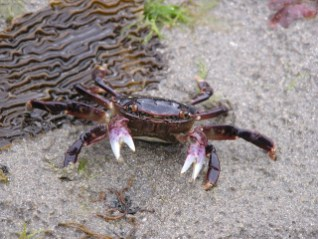 Purple Crab. From the Park's website.