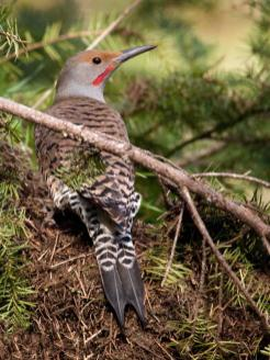Northern Flicker. From the Park's website.