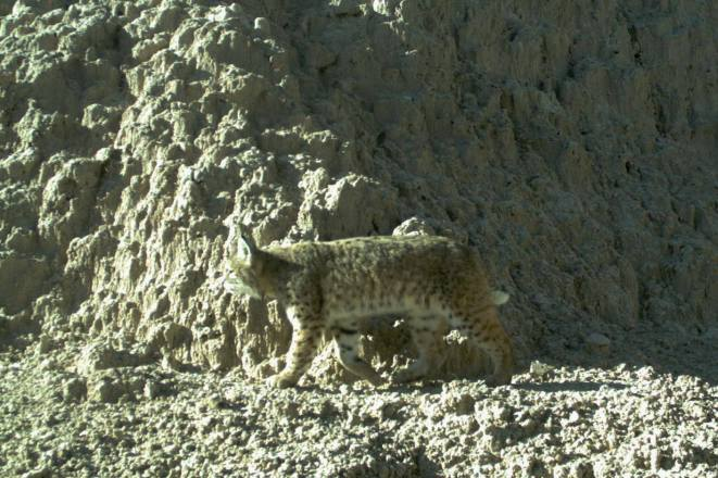 Here is a great example of wildlife camouflage in the Badlands. Caught by a remote, motion activated camera, this photo shows just how well a bobcat can blend into its surroundings. Not often seen by park visitors, bobcats tend to be elusive and crepuscular, actively hunting in early morning or late evening hours. Just like a fingerprint, the coat of a bobcat is unique to each individual. From the Park's Facebook page.