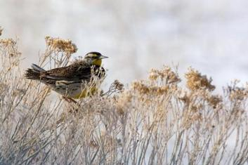 Western Meadowlark. From the Park's website.