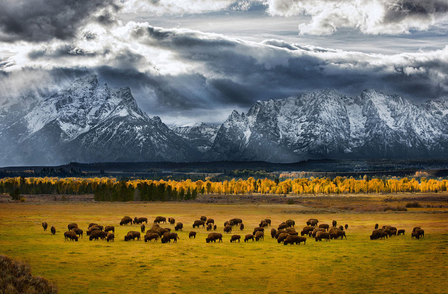 "Grand Teton NP 04:  Photo and caption by Glen Hush/National Geographic Photo Contest - www.ngphotocontest.com) I had been in Teton National Park for 5 days and hadn't yet seen the tops of the Teton Range due to non stop storm systems moving through. October can be like that in this majestic part of America. Large herds of bison roam free in this park as well as in Yellowstone, just to the north. It is an awe inspiring sight indeed. After taking pictures of this herd, I felt that I had been ""shut out"" as the mountain peaks had still not been revealed to me. It wasn't until I looked at the pictures on my computer that I realized that in a few frames, the peaks had been revealed. What a great surprise."