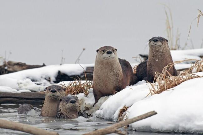 These river otters in Squaw Creek National Wildlife Reserve clearly don't mind the cold! Posted by the US Department of the Interior, 2/10/14.