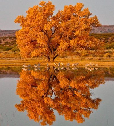 Another stunning fall photo from America's great outdoors. A Cottonwood tree and sandhill cranes at Bosque del Apache National Wildlife Refuge in New Mexico. Photo: Robert Dunn. Posted by the US Department of the Interior, 11/3/13.