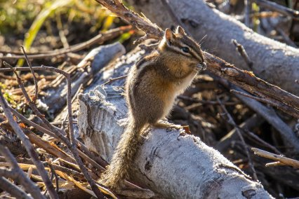 The least chipmunk, the smallest of three chipmunk species in the park, weighs only 1.5 to 1.8oz, or about the same as 8-10 U.S. nickels. Photo credit: D. Lombardi. From the Park's Facebook page.