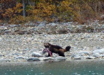 A wolverine, fishing. From the Park's Facebook page.