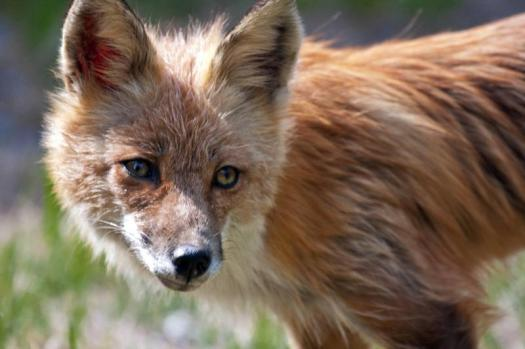 Red Fox. From the Park's website.