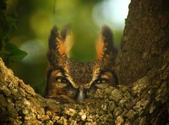 """Great Horned Owl, female. Photo by Dennis Demcheck, a U.S. Geological Survey (USGS) employee. He snapped this great photo of the owl nesting in a Live Oak tree. Here's what he had to say about it. """"She was 'staring me down' because she had eggs to protect. It was taken in southwest Louisiana in the Mermentau River Basin near the town of Thornwell."""" Posted on Tumblr by the US Department of the Interior, 3/22."""
