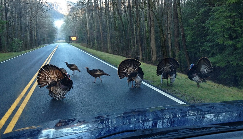Tom Turkeys are gobbling and strutting now as the courtship season begins. You may encounter the birds displaying along park roadways, so please slow down and watch for wildlife—and other visitor's cars stopped due to wildlife! Be especially cautious when going around blind curves. As this photo shows, sometimes the birds will display right in the center of the roadway... and they are NOT interested in moving out of your way anytime soon! The gobbles of male turkeys can be heard almost a mile away. When displaying, males droop their wings until the tips almost drag on the ground and spread their tails wide. Courtship season lasts from March until May. Photo: Displaying turkeys block US-441 between Gatlinburg and Sugarlands Visitor Center. From the Park's Facebook page.