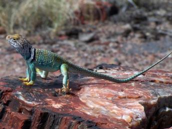 Collared lizard. From the Park's website.