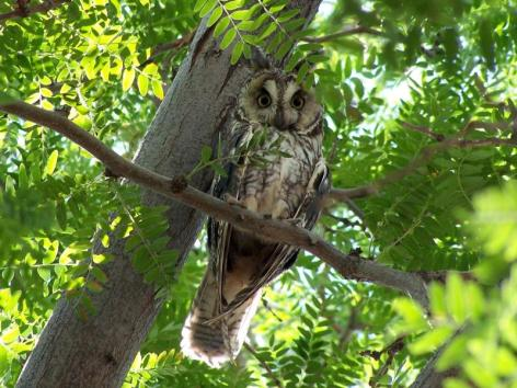 Long-eared owl. From the Park's website.