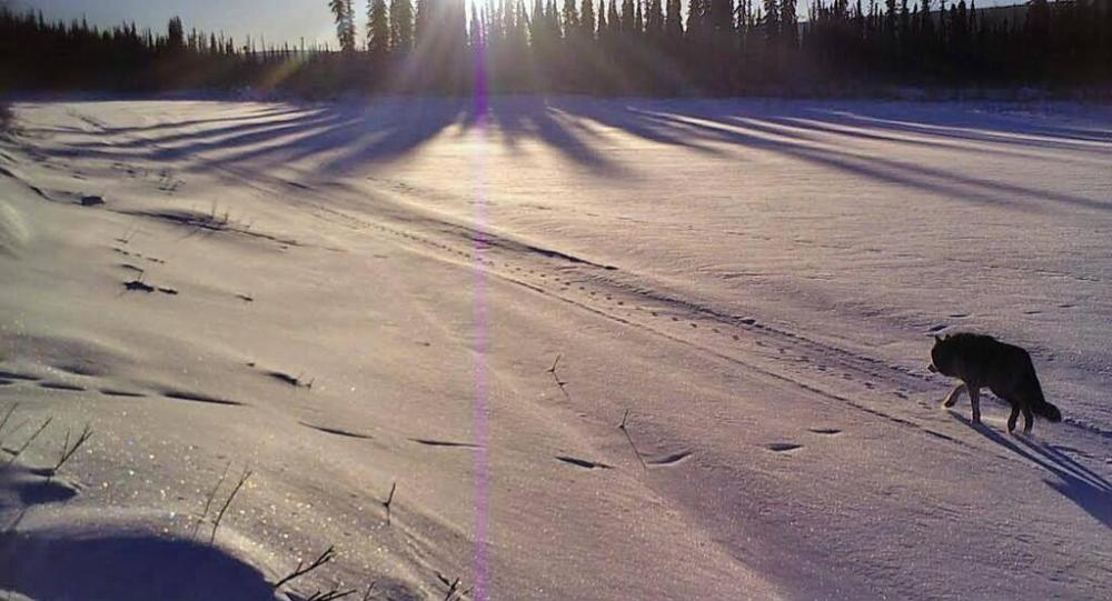 A wolf tracks a fox in the snow covered White Mountains in Alaska. Tweeted by the US Department of the Interior, 2/28/14.