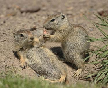 These are Belding's ground squirrels – sometimes called pot gut. They live on mountains in western United States. This pair was photographed by Jim Leonard at Malheur National Wildlife Refuge in Oregon. Posted on Tumblr by the US Department of the Interior, 4/30/14.