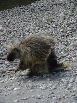 Porcupine. From the Park's website.
